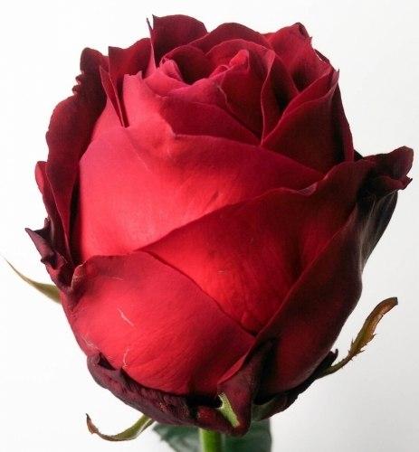 Розы (РБ, Колумбия, Эквадор, Кения) от 0,95 руб/шт. Хризантемы 3,30 руб/шт.