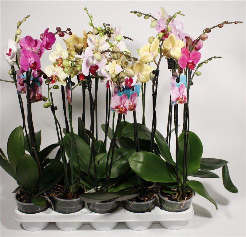 Свежие альстромерии, орхидеи от 3 руб, оригинальные букеты от 50 руб.