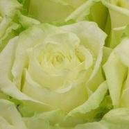 Розы (РБ) всего от 0,90 руб/шт, гвоздики, хризантемы, альстромерии от 1,80 руб.