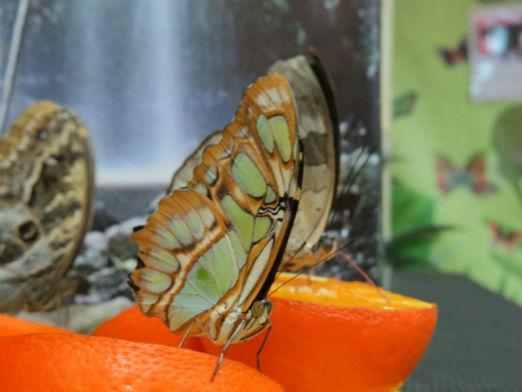 Выставка живых тропических бабочек всего от 3,50 руб/билет