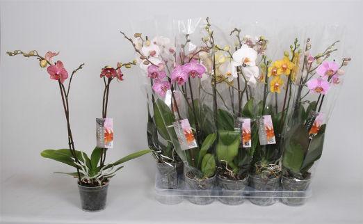 Орхидеи распродажа минск
