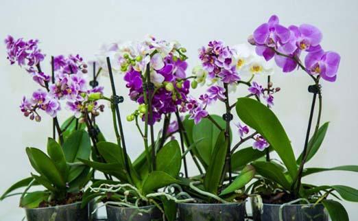 Недорого купить орхидею в минске